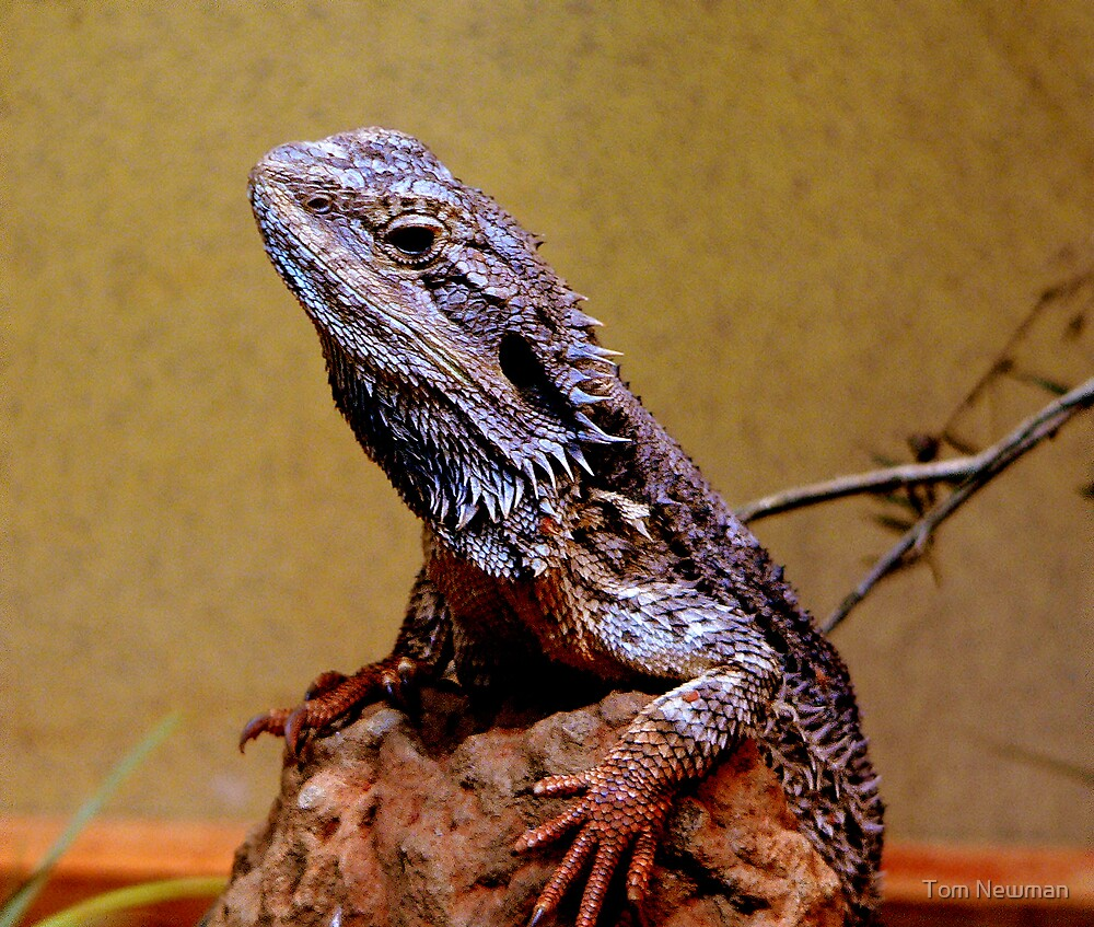 Bearded Dragon  by Tom Newman