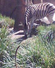 Zebra by Ashlee Y