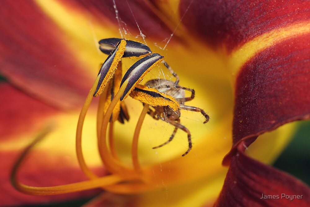 Spider Lilly by James Poyner