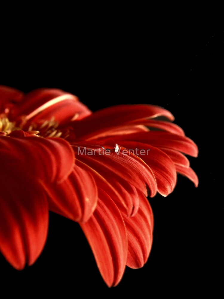 Waterdrop on Gerber Daisy by Martie Venter