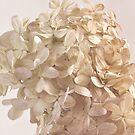 Creamy Hydrangea Blossoms by Sandra Foster