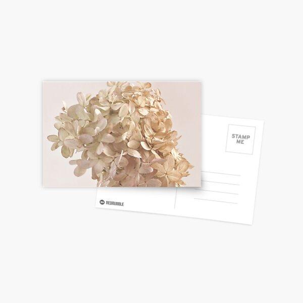 Creamy Hydrangea Blossoms Postcard