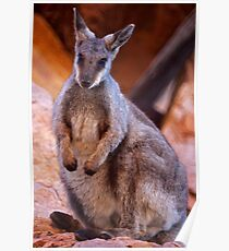 Black Footed Wallaby 2 Poster