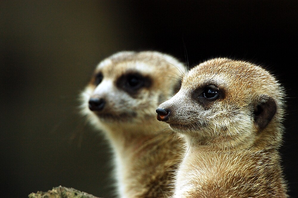 Close-up meerkats by toffeespin
