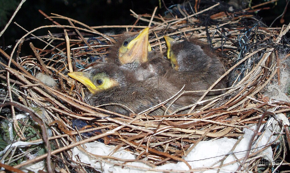 Three baby Australian Miners in a nest  by lettie1957