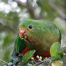 Juvenile Male Australian King Parrot  by PixelsbyDezine