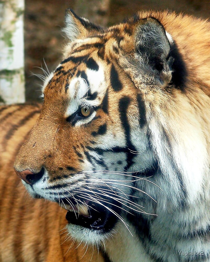 Proud Tiger by Yapsalot2