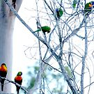 Rainbow Lorikeets in a wattle tree by Mark Batten-O'Donohoe