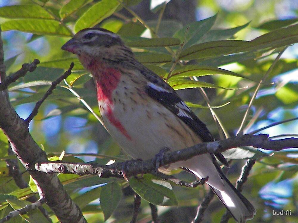 Juvenile Rose-breasted grosbeak by budrfli
