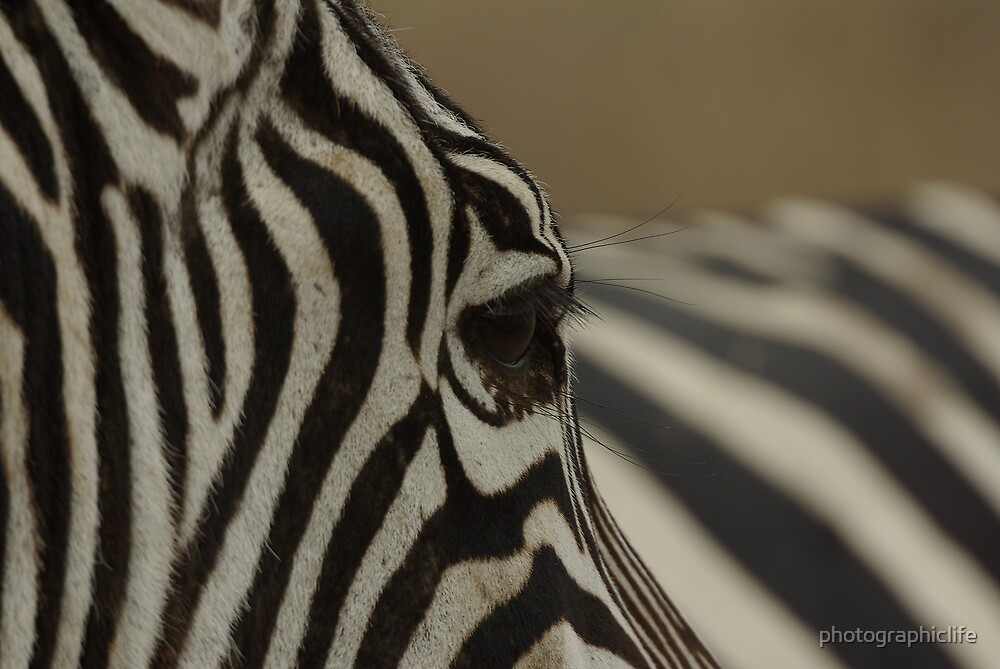 Watching Zebra by photographiclife