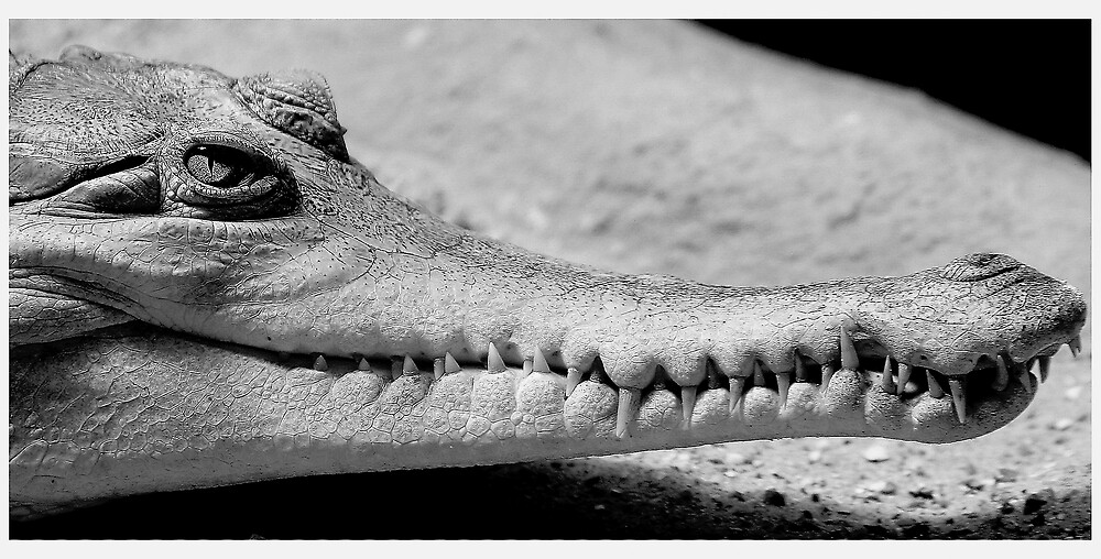 Long Snouted Crocodile by kitlew