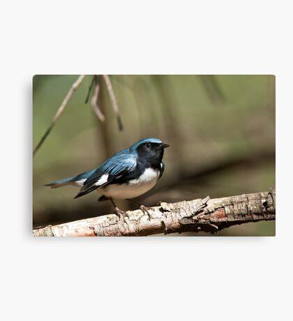 Black Throated Blue Warbler Canvas Print