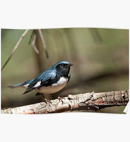 Black Throated Blue Warbler Poster