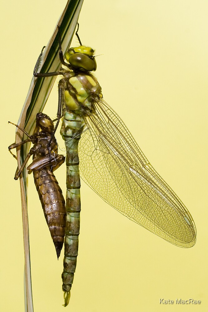Southern Hawker and nymph case by Kate MacRae