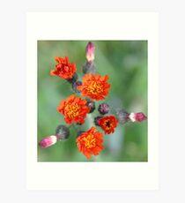 Orange Hawkweed Art Print