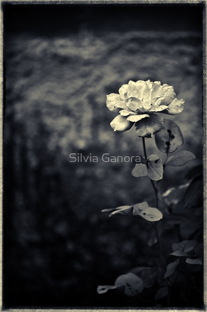 The rose by Silvia Ganora