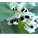 broadbean flowers by Northcote Community  Gardens
