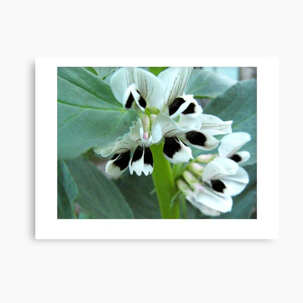 broadbean flowers Canvas Print