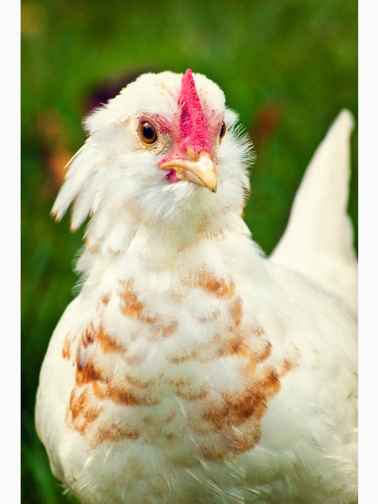 White Barbu d'Uccle bantam chicken by InspiraImage