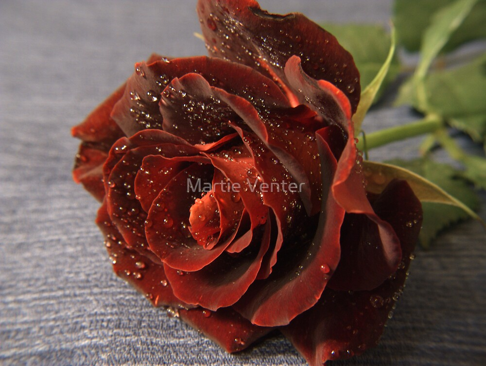 Red Rose on Blue Fabric Background by Martie Venter