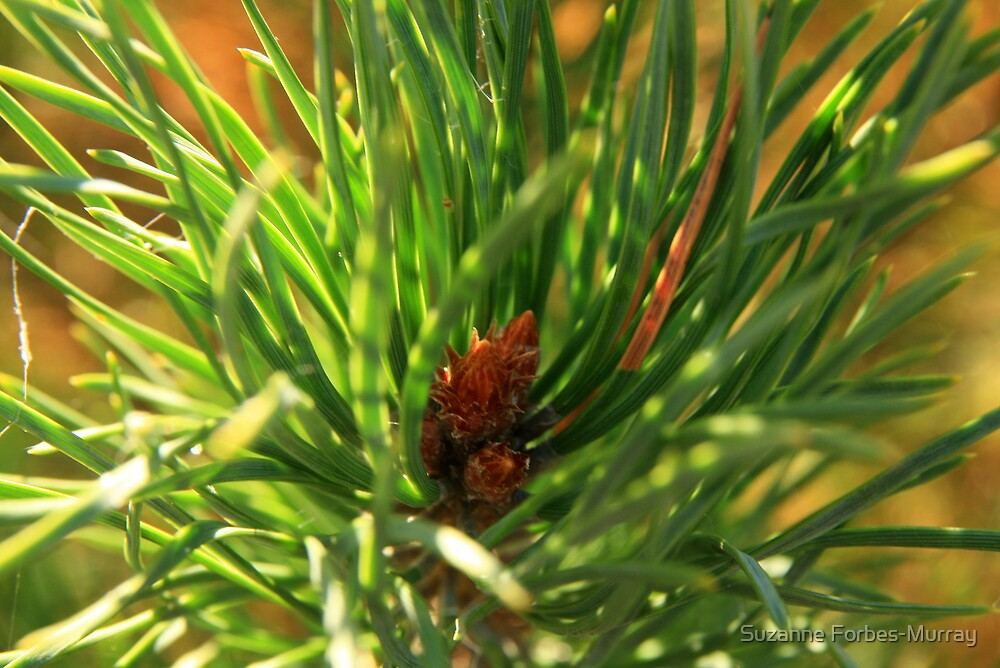 Tip of Scots Pine Tree by Suzanne Forbes-Murray
