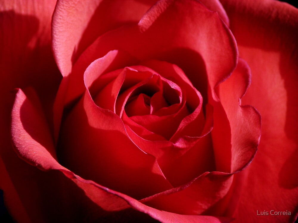 Red Rose by Luis Correia