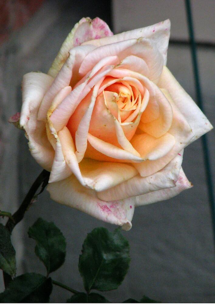 Pink Rose by ashleymaiwoo