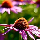Coneflower by Roxanne Persson