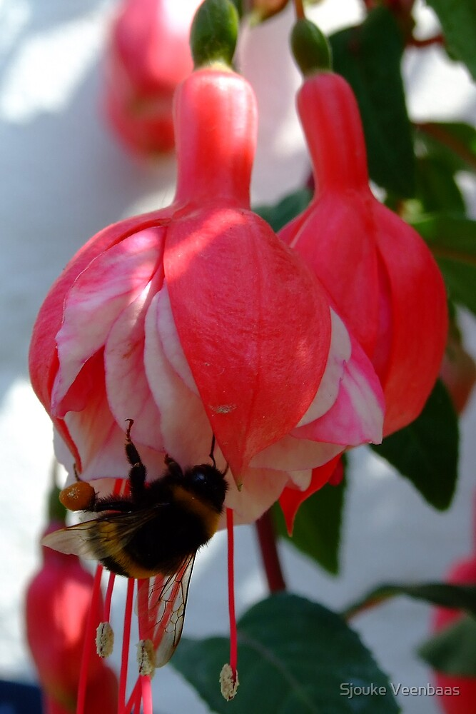 Bumblebee on Pink Fuchsia by Sjouke Veenbaas