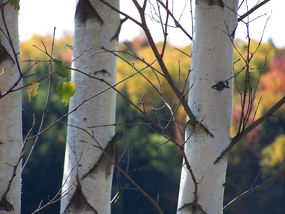 Through Birches by Gene Cyr