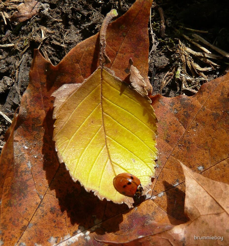 Autumn ladybird by brummieboy