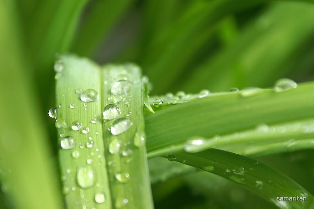 Daylily dew by samaritan