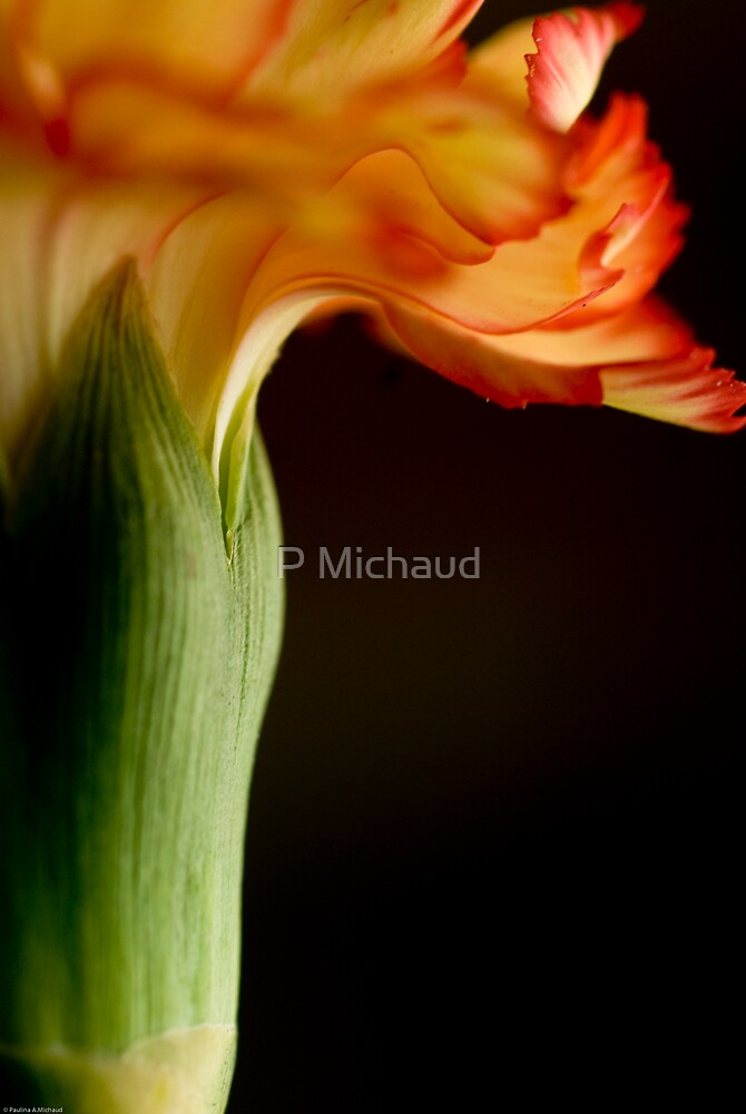 carnation by P Michaud