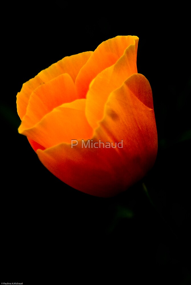 california poppie3 by P Michaud