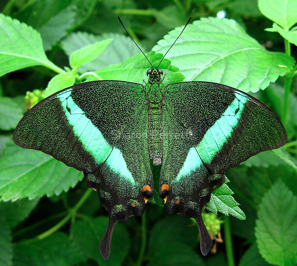Emerald Swallowtail - Open Wings by Sharon Perrett