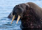 Walrus by Steve Bulford