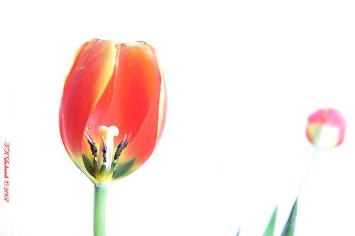 High-key Tulip by grinandbearit