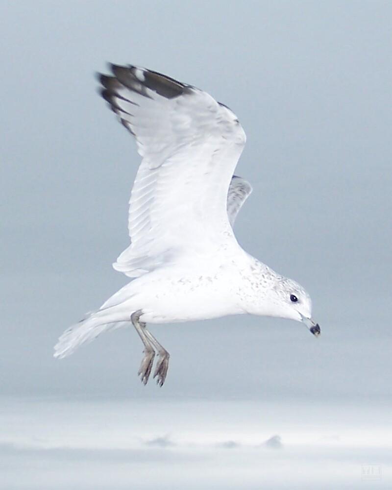 Seagull In Flight II by tim100
