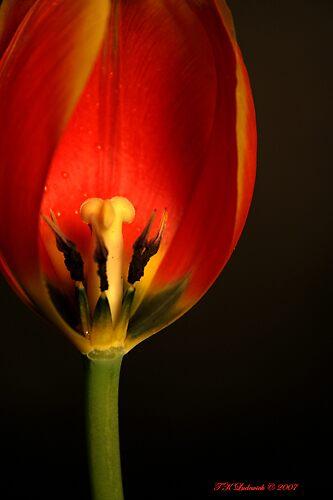 Tulip by grinandbearit
