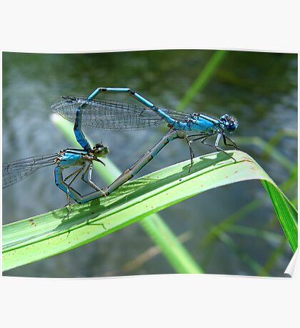 Damselfly Sweethearts Poster