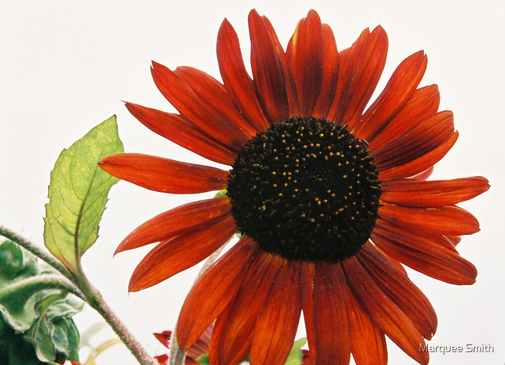 Red Sunflower by Marquee Smith