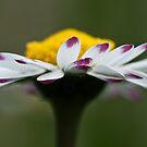 Close Up Daisy by Karen Havenaar