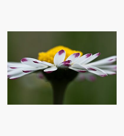 Close Up Daisy Photographic Print