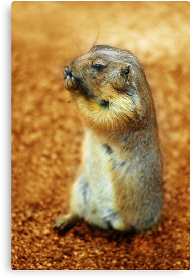 Prairie dog by Wisent