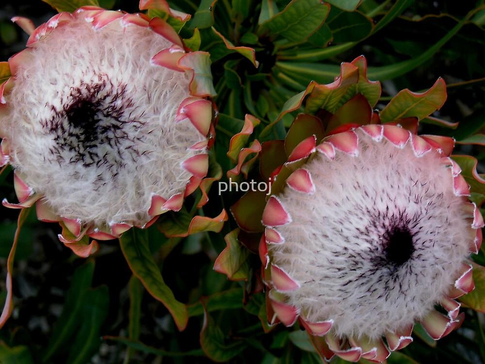 photoj Flora, Pink Ice by photoj