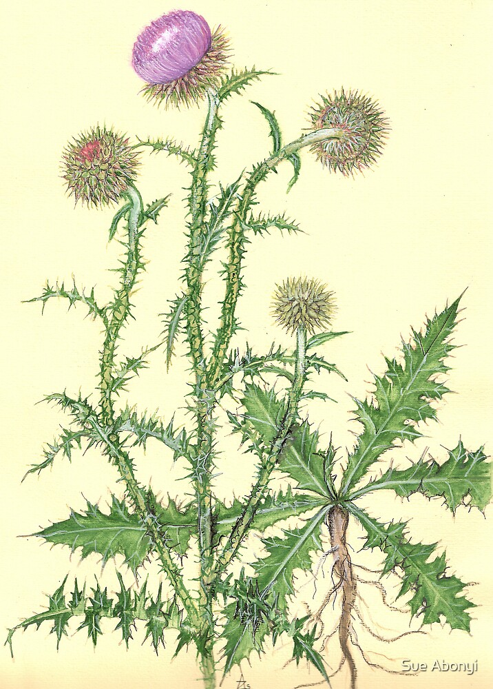 Nodding Thistle -  Carduus nutans by Sue Abonyi