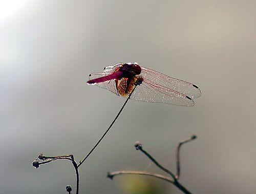 Dragonfly Vietnam 1 by GetCarter