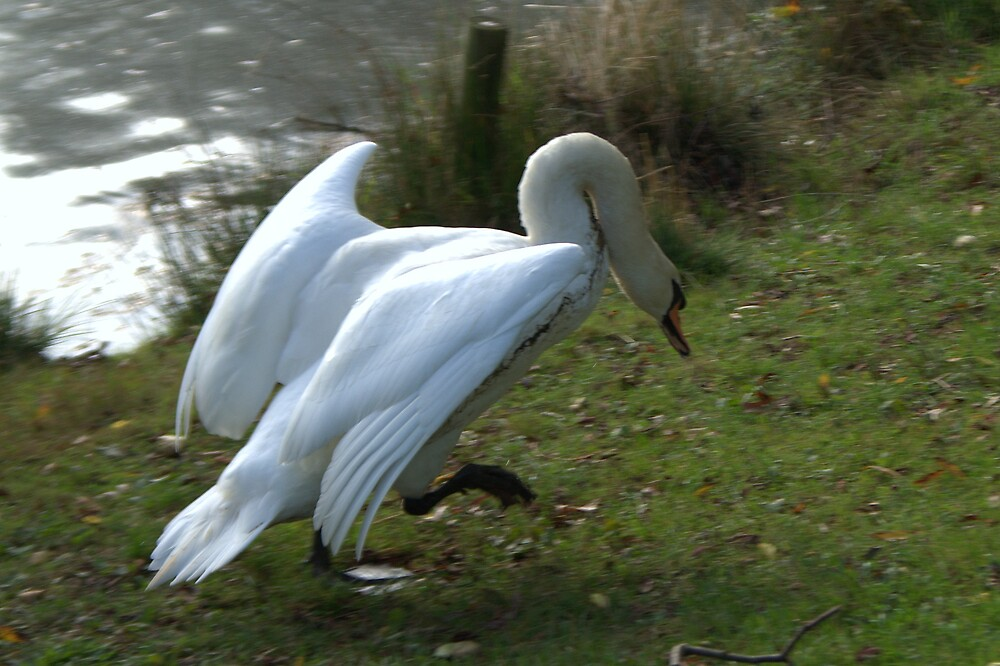 Courting Swan - Courting on the run  by John Thurgood