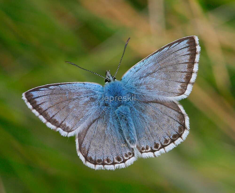 Chalkhill Blue Butterfly by lepreskil