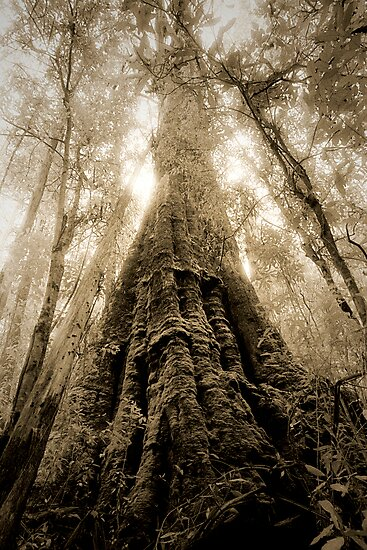 Old Growth Mountain Ash by Ern Mainka